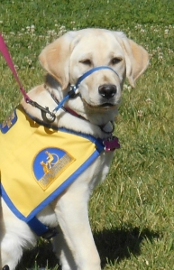 Yvette - Service Puppy in Training